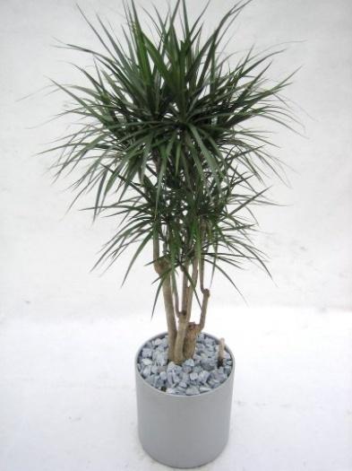 Dracaena marginata for Dracaena marginata